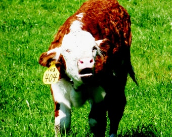 Bawling Hereford Calf Farm Life Picture Card