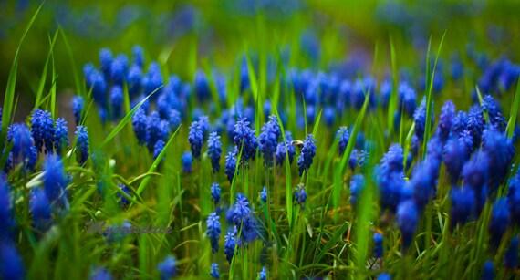 articles similaires champ de la fleur bleu lectrique fleurs bleues fleurs printemps macro. Black Bedroom Furniture Sets. Home Design Ideas