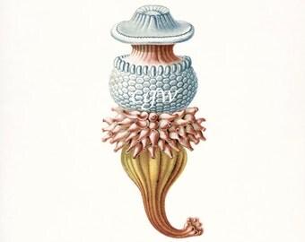 Coastal Decor Art - Hydra Natural History Giclee Art Print No. 2 8x10