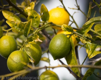 Lemon Lime Tree Branch Art Print Photograph Citrus Fruit Photography Kitchen Bar Dining Room Cafe Wall Decor Wall Art