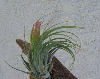 Large Tillandsia Kolbii