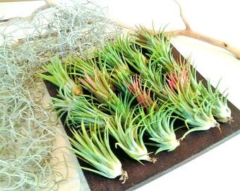 TREASURY ITEM - 100 Air plants - Set of Tillandsia - diy projects - terrariums - crafts - supplies - Wedding favors - Gifts