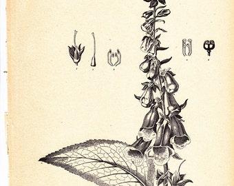 Vintage Foxglove print, Digitalis purpurea, an antique botanical illustration, shabby chic home decor.