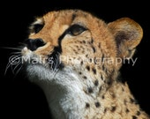 Cheetah Black Brown White Feline Cat, Animal Photography, Nursery Decor, Fine Art Photography, matted & signed 8x10 Original Photograph
