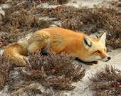Red Fox photograph, orange and brown, cream, Nature photography, animal photo, gifts for him