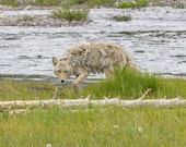 Coyote photograph, Yellowstone National Park, Wyoming nature photography, green brown tan