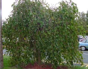 50 Black Mulberry Tree Seeds, Morus nigra