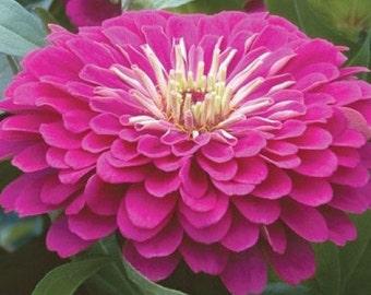Royal Purple Zinnia, Heirloom Plant, Attract Hummingbirds, 20 Seeds