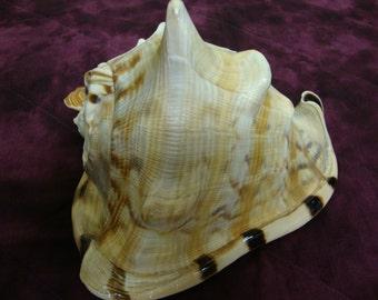 King Helmet Seashell