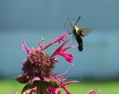 Printable, HUMMINGBIRD, Snowberry Clearwing Among Bee Balm Flowers, 4 Sizes, Nature Photography, Photo Art
