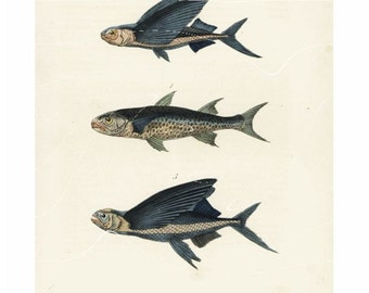 Antique Natural History Print Crenilabre, Exocet Volant, Exocet Sauteur Fish Original Hand colored