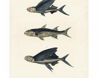 Antique Natural History Print Crenilabre, Exocet Volant, Exocet Sauteur Fish Original Hand colored