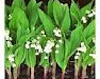 10 lily of the valley perennial plants  and old fashon classic great fragrance woodland native free shiip immediate ship