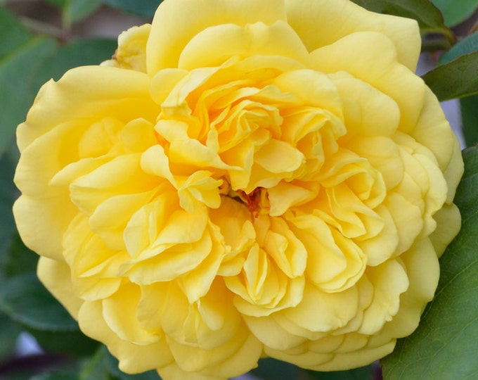 Golden Gate ™ Rose Plant Climbing Rose Bush Organic Grown Yellow Climber - Potted Own Root Rose Plant Ships Now