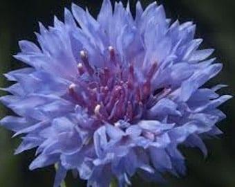 Cornflower seeds,59,flower seeds , gardening , seeds,purple flower,