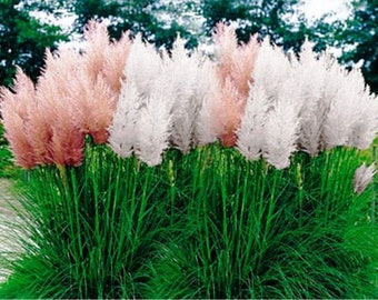 Squirrel tail grass etsy for Quick growing ornamental grasses