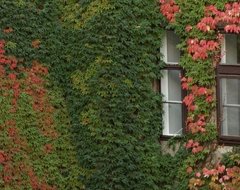 BOSTON IVY SEEDS,Parthenocissus Tricuspidata , Fast Growing Vine/Climber !