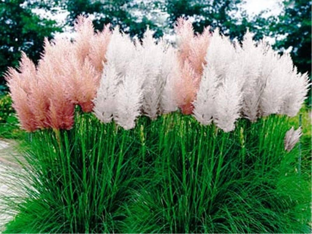 Pampas grass mix cortaderia selloana fast growing for Fast growing ornamental grass