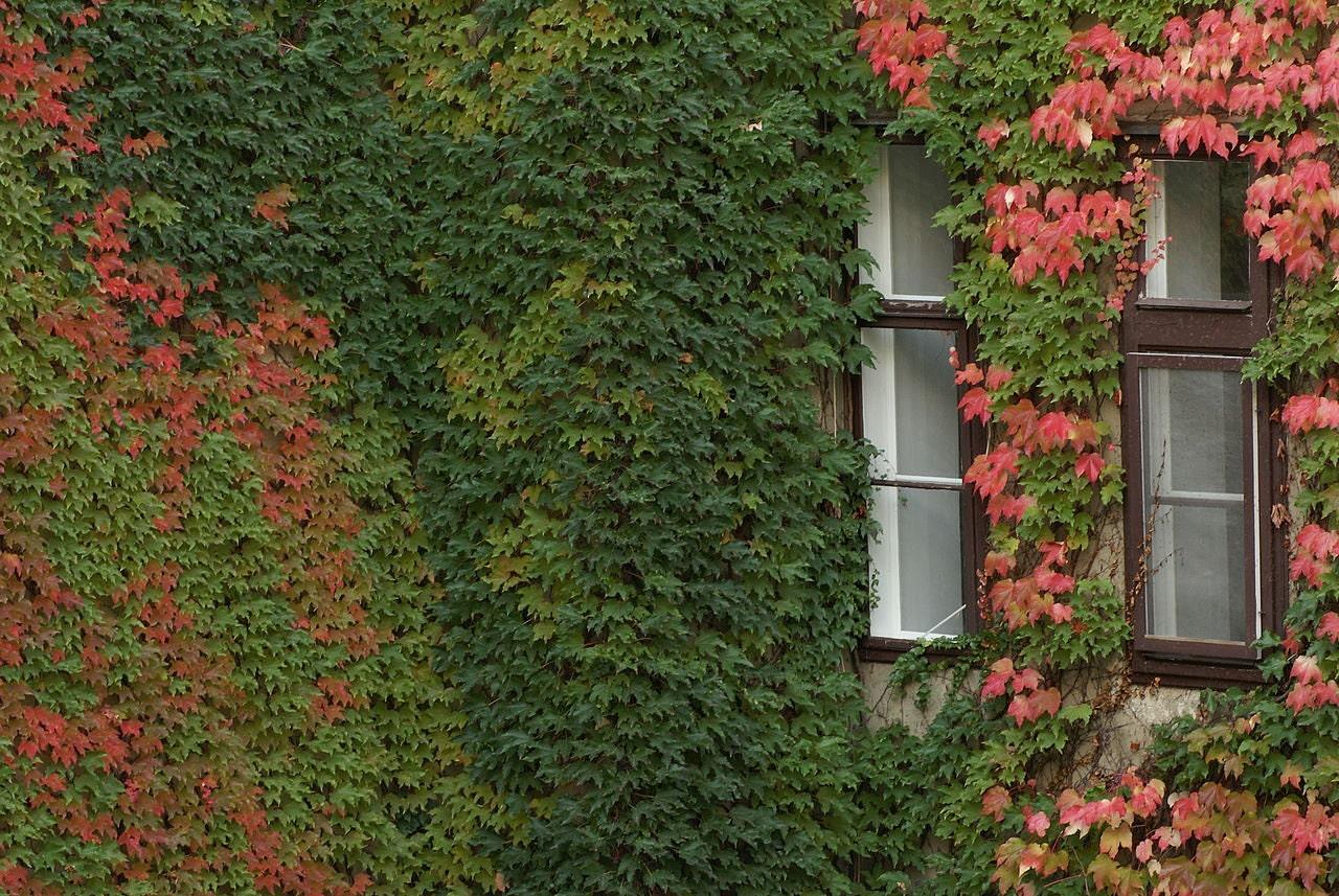 Boston ivy seedsparthenocissus tricuspidata by caribbeangarden - Plantas trepadoras para muros ...