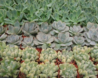 50 Rosettes Suculents for Wedding Party Favors in  their 2 inch Pots