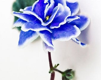 Blue and White Violet  #140380, fine art flower photography, nature photograph wall art print home decor