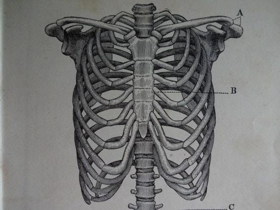 Rib Cage Line Drawing Anatomy Book Line Drawing