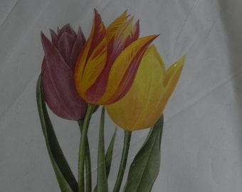 SPECIAL PRICE- Botanical Print - Redoute - French Artist - Tulipa Gesneriana