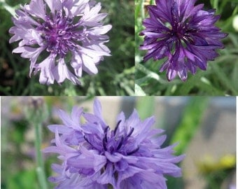 Light, bright, and deep purple mixed bachelor's button seeds (200 ct)