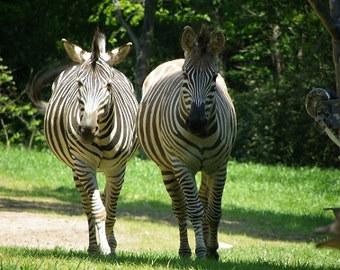 Zebras @ NC Zoo - Asheboro, NC  {Instant Photo Download}