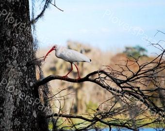 White Ibis Photograph // Bird Photo // Florida Nature Photo // Wakulla Springs Photography Print