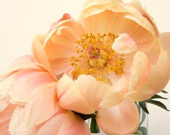 Peach peonies, duo, two flowers, macro, close-up, zoomed in, peach on white, fine art photograph