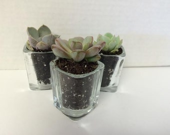 Succulent Plants. Assortment of 100 Gorgeous Succulents and Glass Votives. Wonderful grouping for weddings and shower favors.