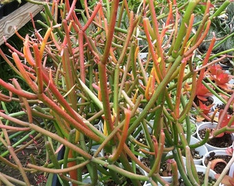 Euphorbia tirucalli 'Fire Sticks' (Pencil Cactus) Succulent - 5 Unrooted Cuttings Anyone Can Root!