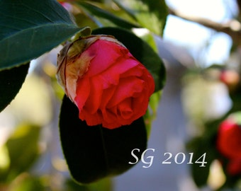 Flower photography, red rose
