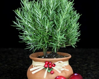 Washpot Summer  Rosemary Topiary Tabletop Decoration Italian European French Country ShabbyChic Fragrant Woodsy Perennial Herb Latin