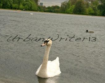 Swan in pond in Kensington Gardens London England