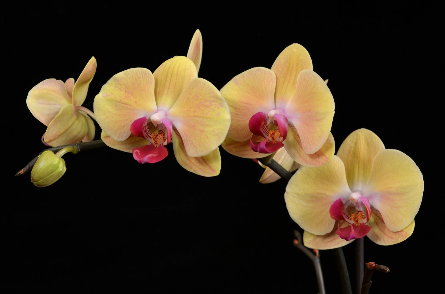Yellow And Pink Orchid Yellow and Pink Phalae...