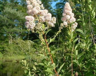 6 Meadowsweet Woodland wildflowers~Marsh~Wetlands~Garden Plants~BIRDS/BUTTERFLIES!!! ~Naturalize