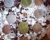 100 Mixed Lithops Seeds Rare Cactus Succulent Living Stones Plant