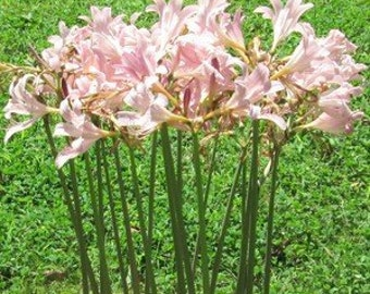 2 Bareroot Pink Spider Lily/ Surprise Lily/ Naked Lady Lily/ Resurrection Lily/ August Lily/ Raidanti Squamigera