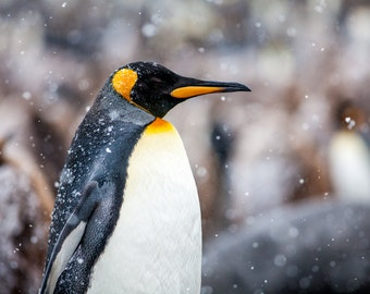 Old Man Winter - King Penguin - Fine Art Photograph (Matted)