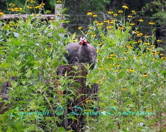 Guinea Fowl with Black-Eyed Susans (Rudbeckia Hirta)