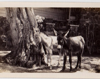 Antique Snapshot - Donkeys By A Tree 1930s