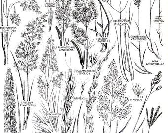 Flower Print - Marram Grass, Wind Grass, Yorkshire Fog, Meadow Oat Grass - Vintage Botanical Print -Book Page - 97