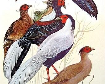Bird Print - Monal Pheasants, Himalayan Pheasant, Blue Eared Pheasant, Tibetan Pheasant - 1973 Vintage Encyclopedia Book Page - 10 x 7