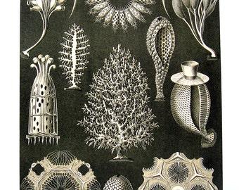 Calcispongiae, Tubulariae - Haeckel Art 1990 Vintage Book Page