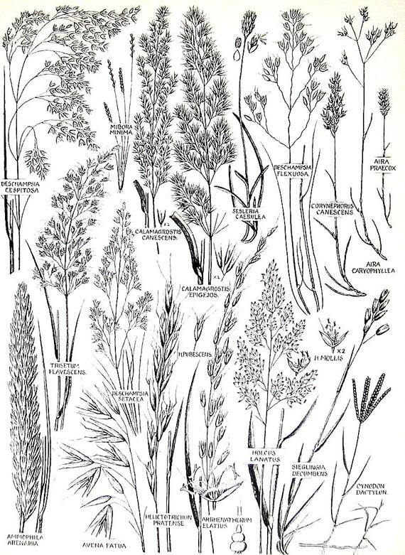 Flowers in Grass Drawing Flower Print Marram Grass