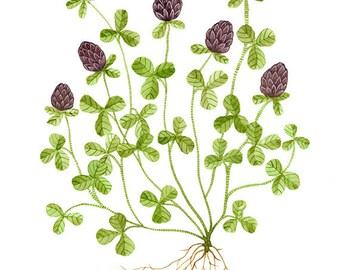 Clover, original watercolor painting, botanical painting, blooming flowers, wildflowers, botanicals