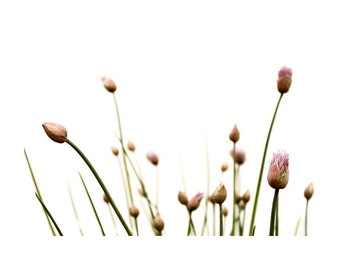 Botanical Plant Print Chive Onion Dreamy Garden Photography Pink Flower