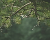 Pine Tree Branches 8x10 Fine Art Photography Print Green Home Decor Wall Art Home Decor Pine Tree Needles Forest Photography Print